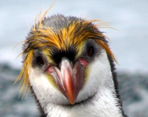 Vrai pingouin